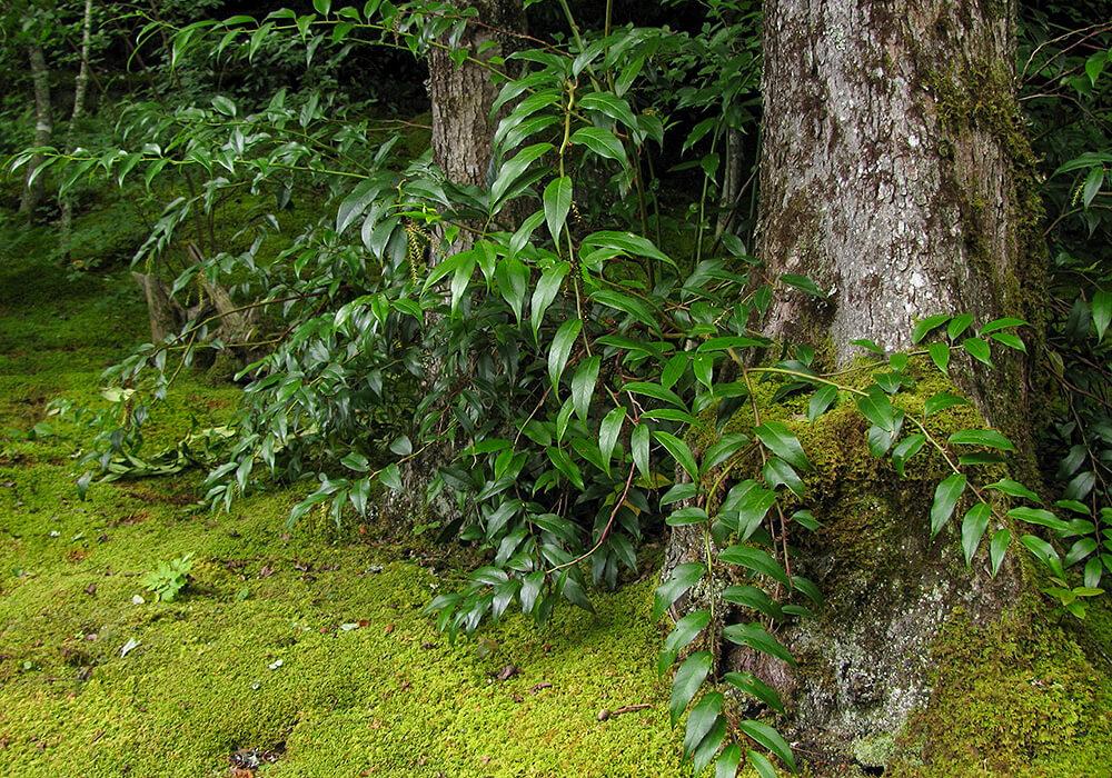 セイヨウイワナンテンの木