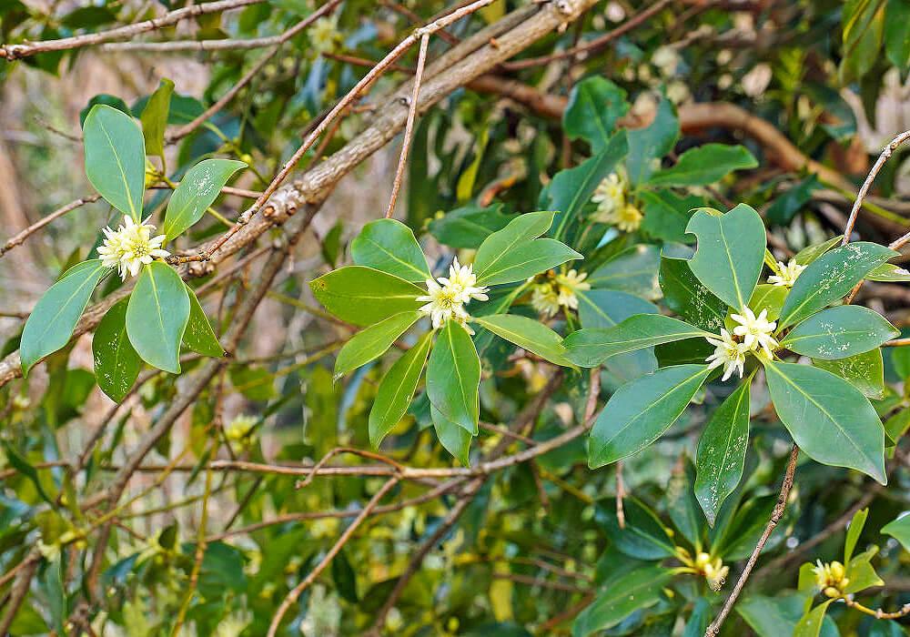 シキミの枝と花