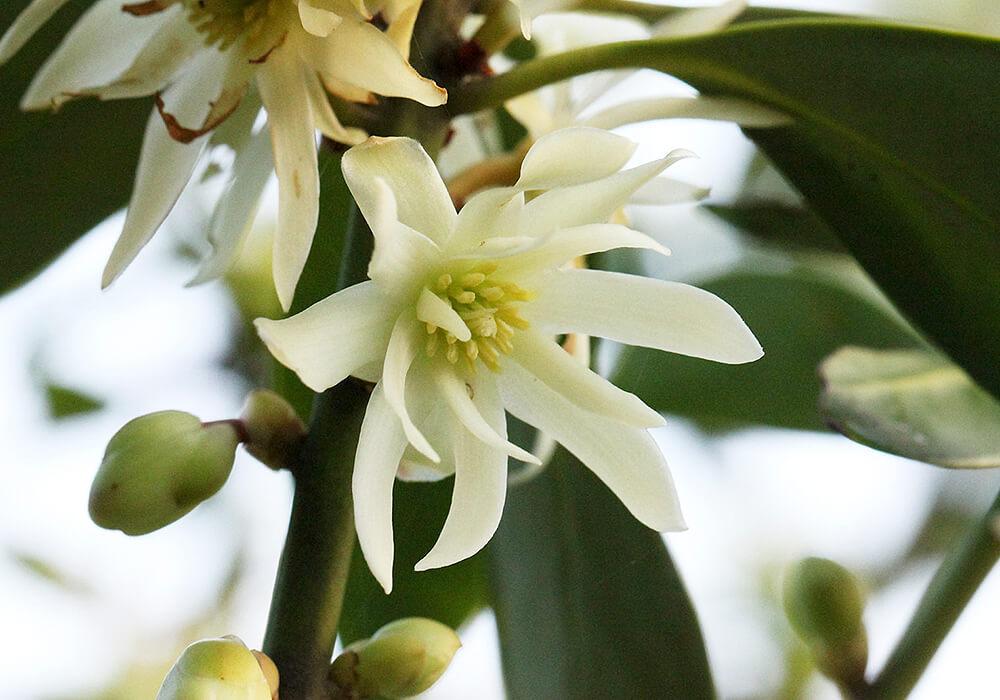 シキミの花の拡大