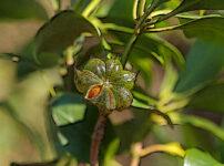 シキミの植物図鑑と育て方