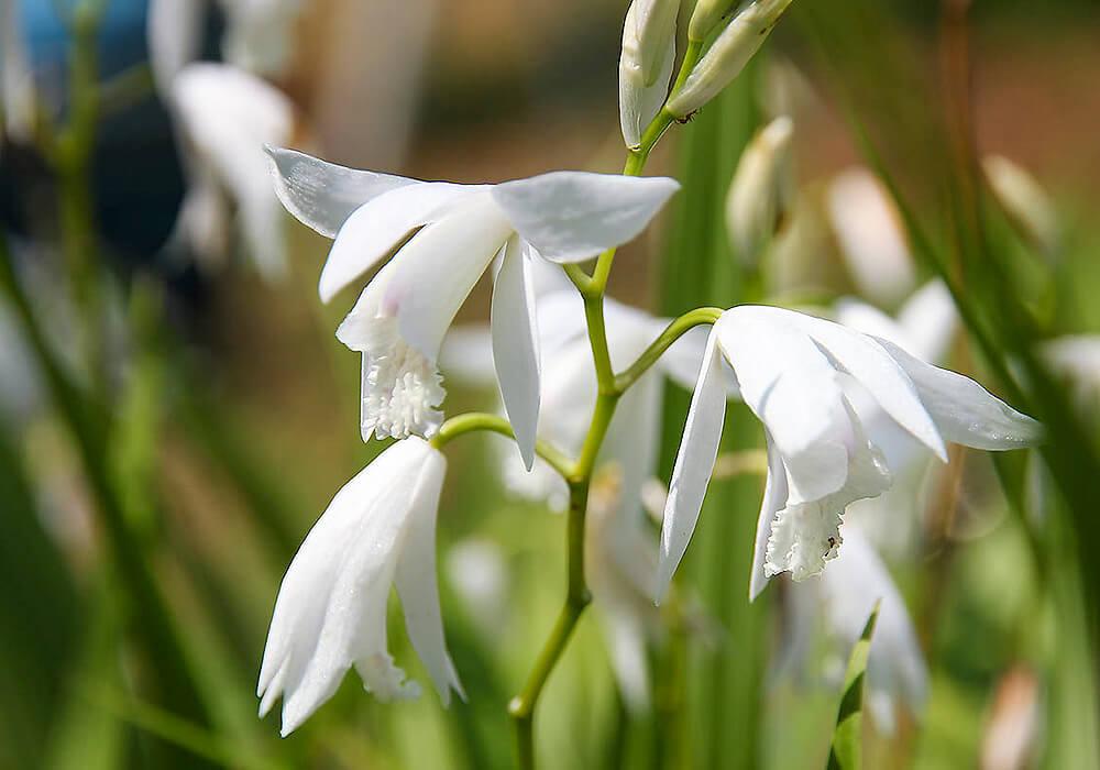 シランの白い花