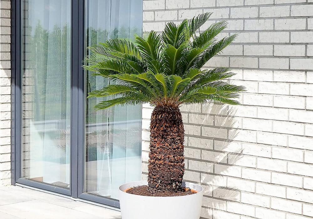 ソテツの観葉植物
