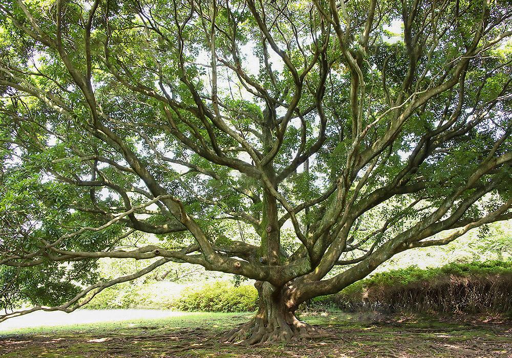 タブノキの樹形