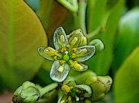 タブノキの植物図鑑と育て方