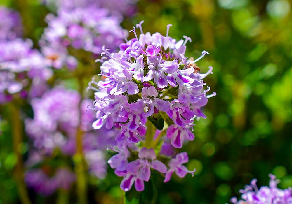 タイムの紫の花