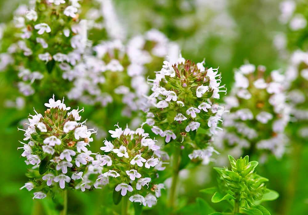 タイムの白い花