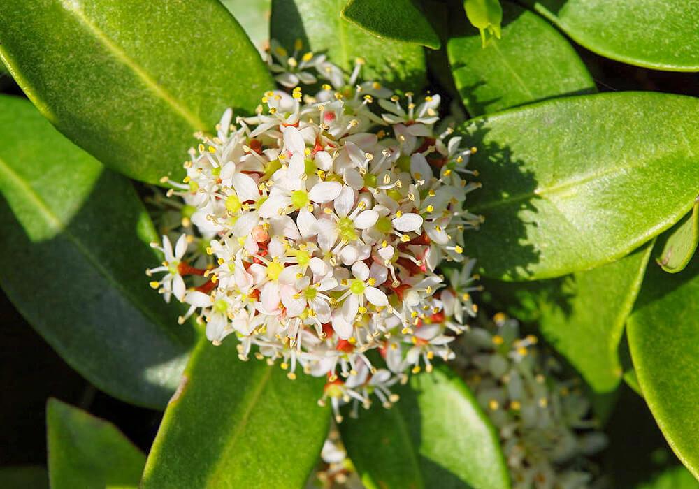 ツルシキミの花