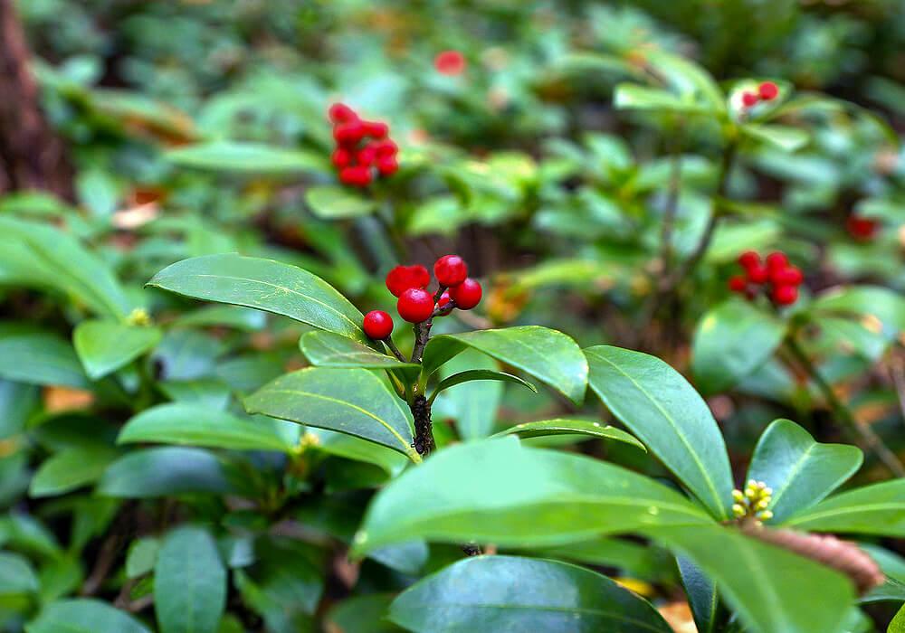 ツルシキミの葉と果実