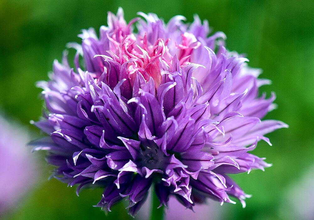 チャイブの花の拡大