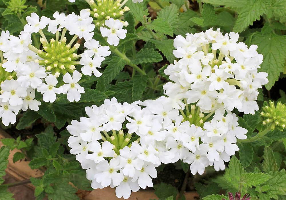 バーベナの花と葉