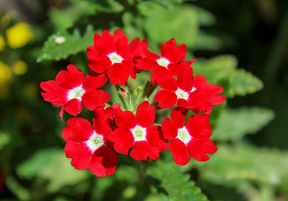 赤いバーベナの花