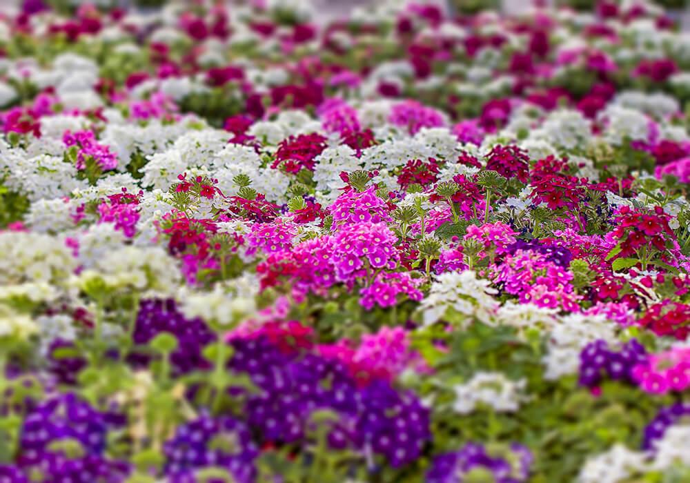 バーベナの花畑