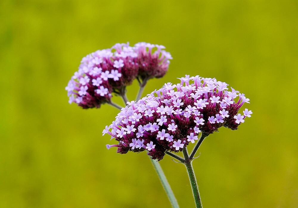 ピンクのバーベナの花