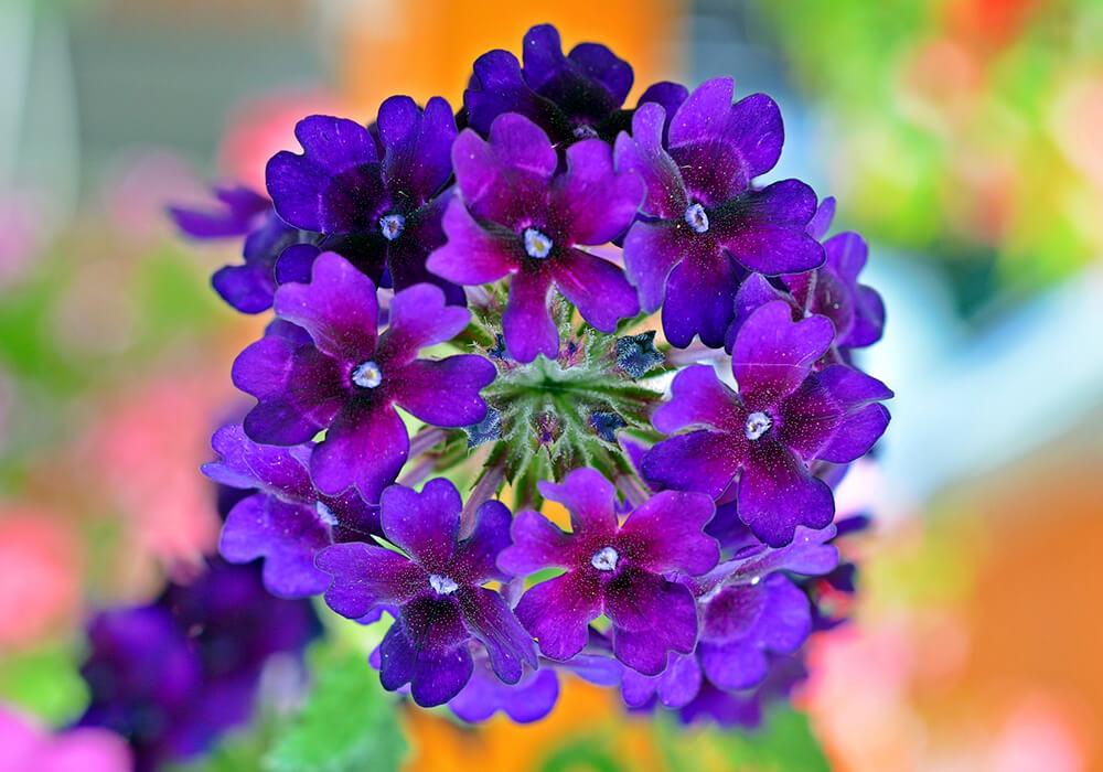 紫のバーベナの花