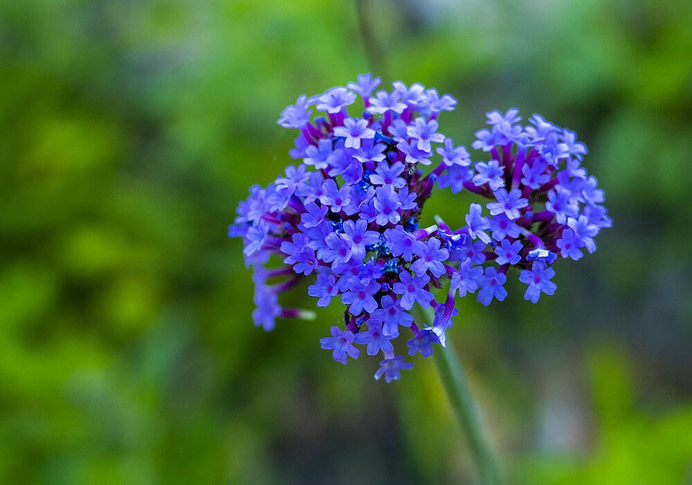 青いバーベナの花