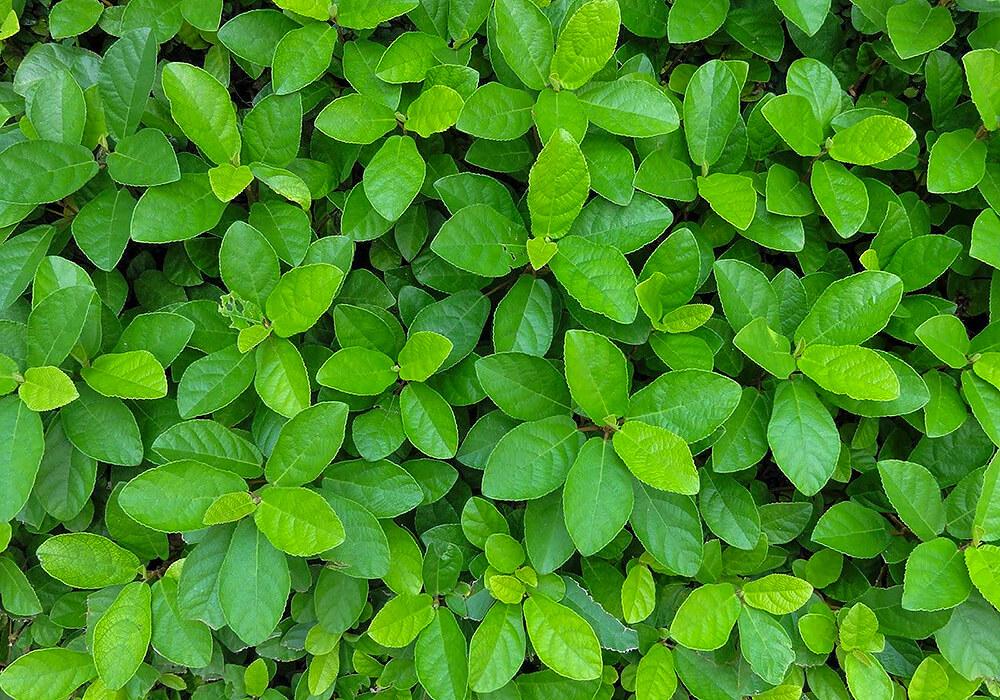 ヤブコウジの葉