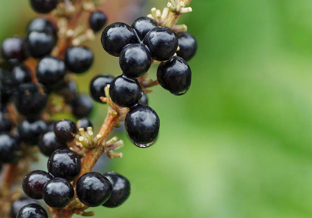 ヤブランの果実