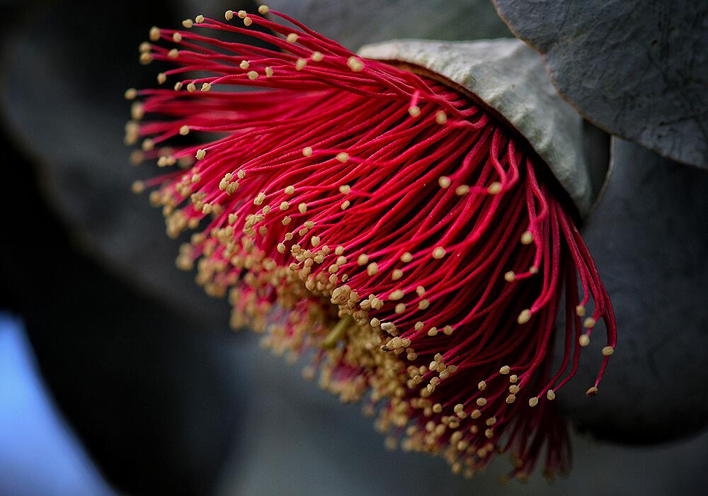 ユーカリの赤い花