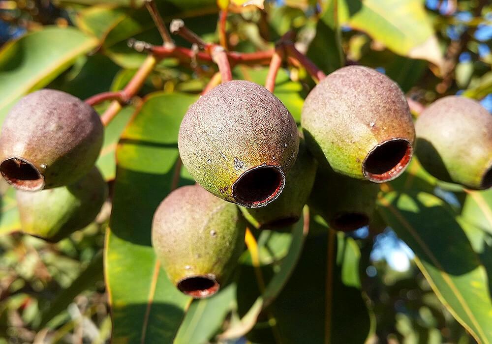 ユーカリの果実