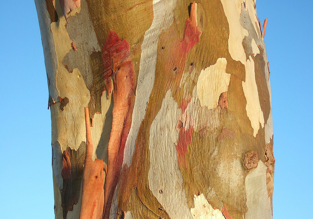 ユーカリの樹皮