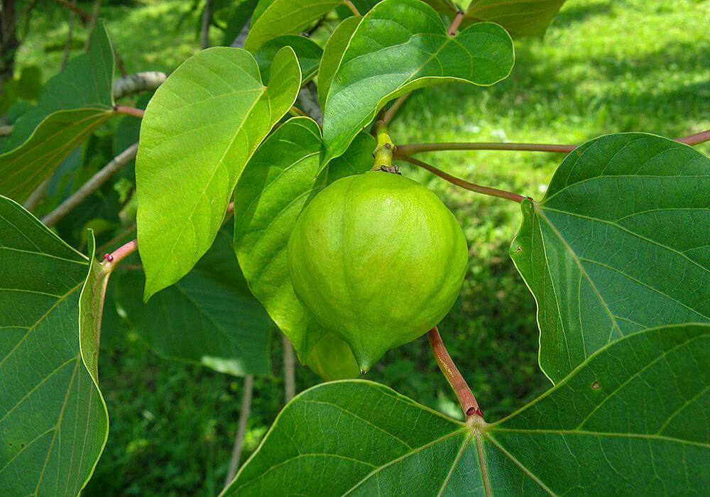 アブラギリの果実