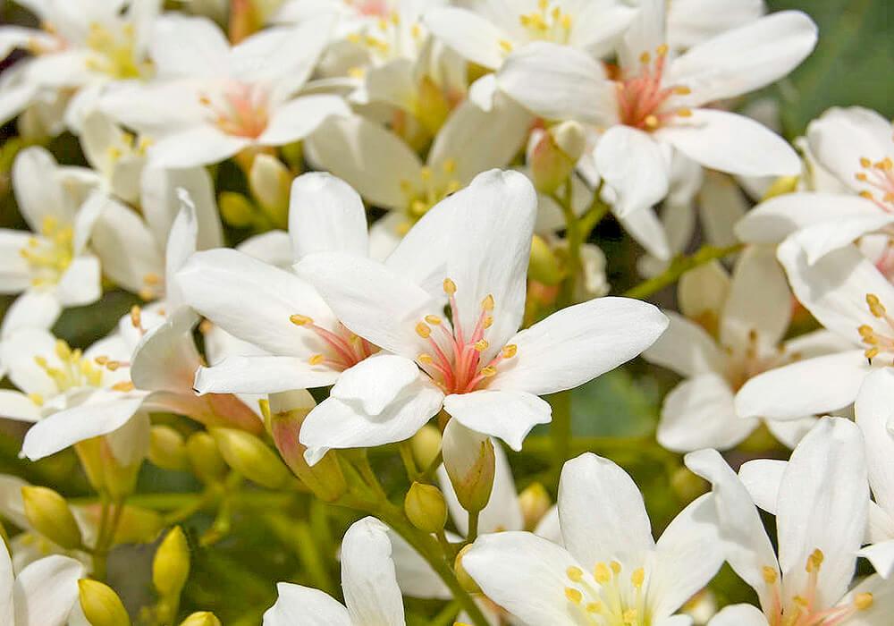 アブラギリの花の拡大