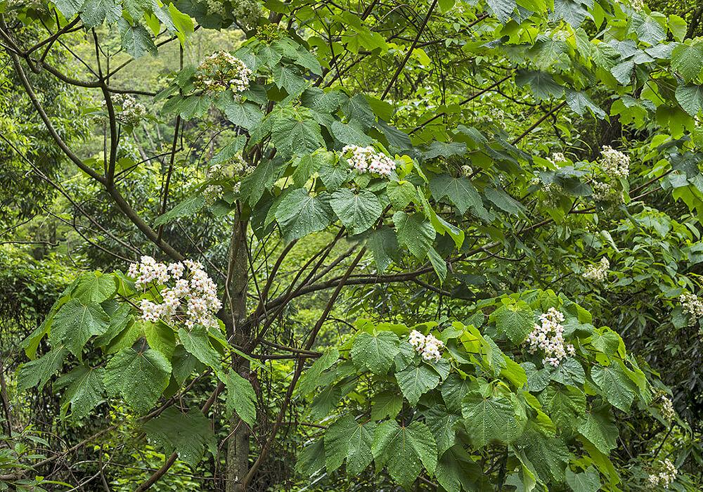 アブラギリの木