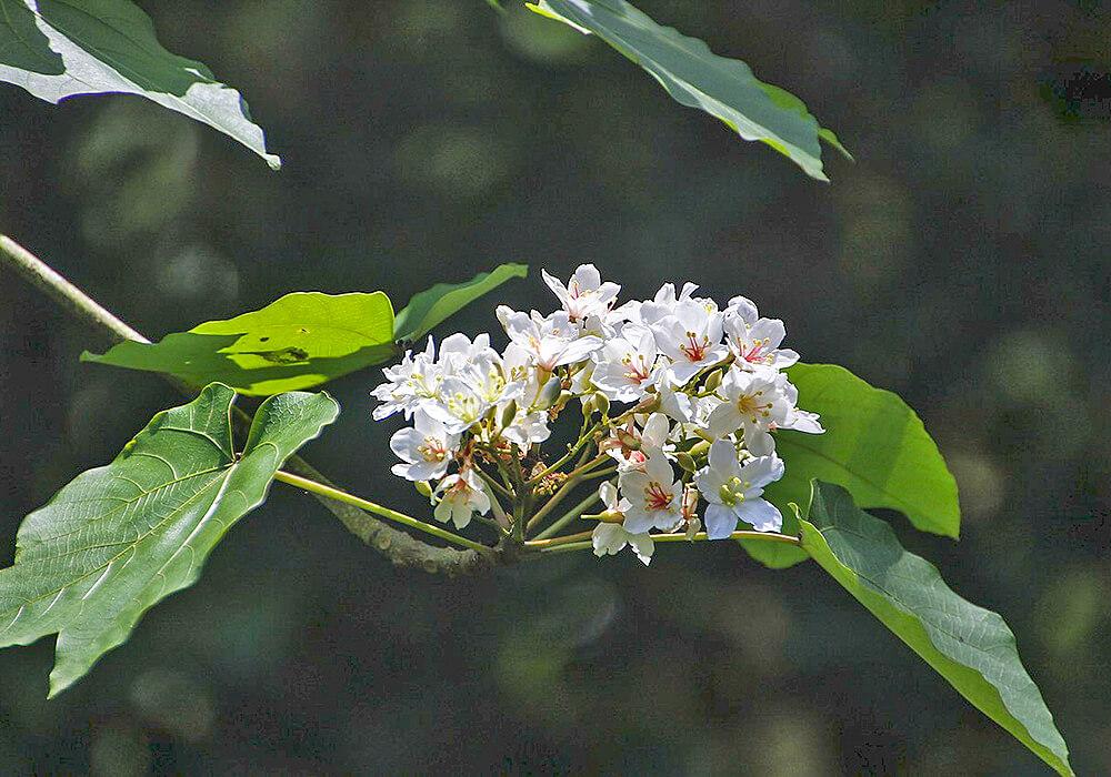 アブラギリの花と葉