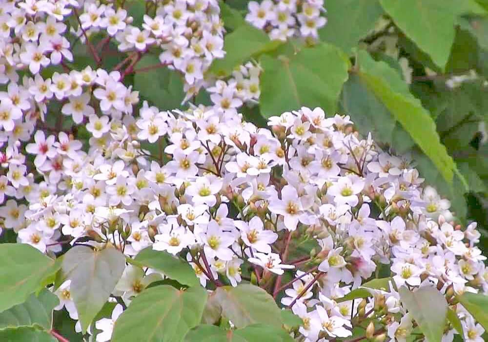 アブラギリの花