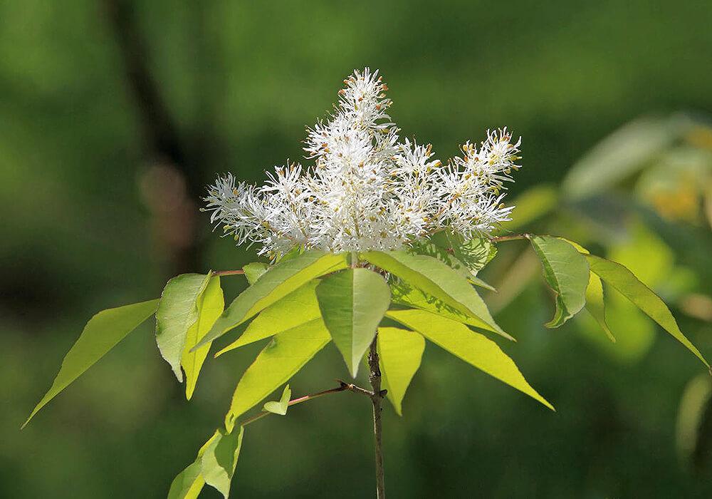 アオダモの花の拡大