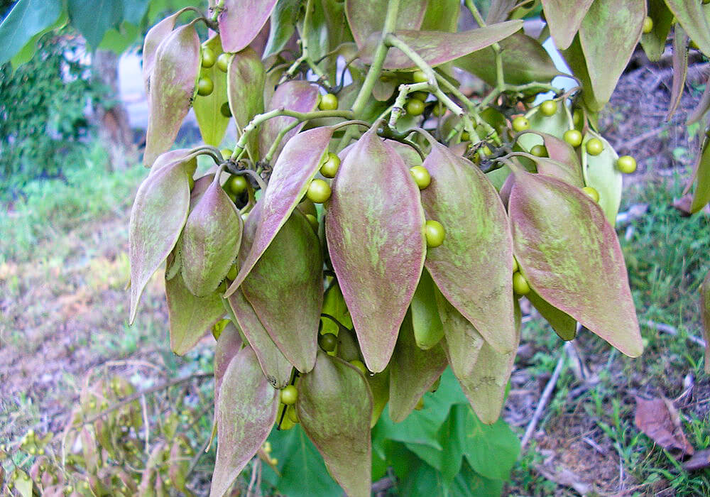 アオギリの果実
