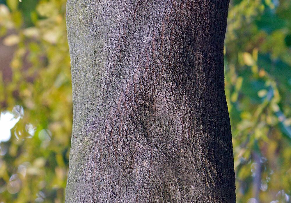 アラカシの樹皮