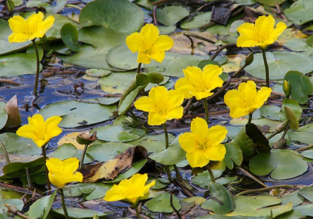 池のアサザ
