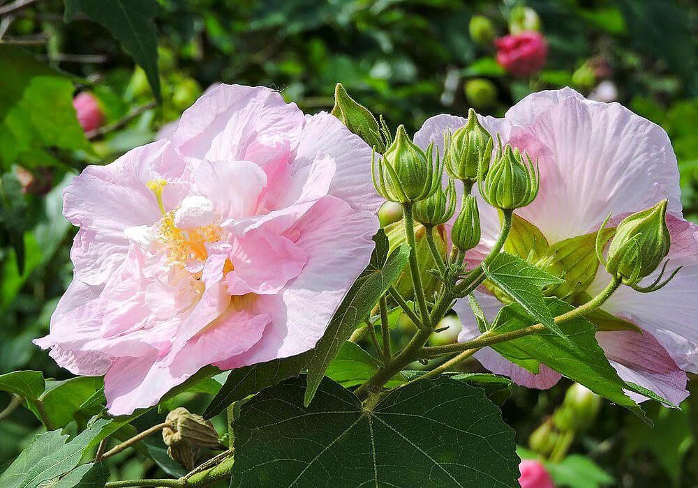 フヨウのピンクの花