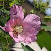 フヨウの植物図鑑と育て方