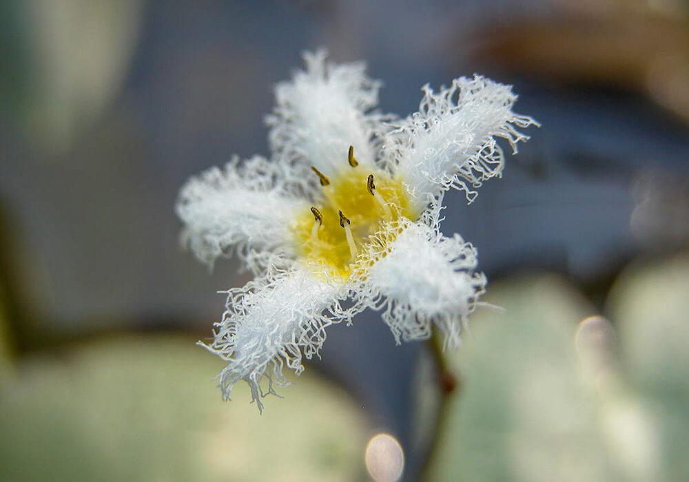 ガガブタの花の拡大