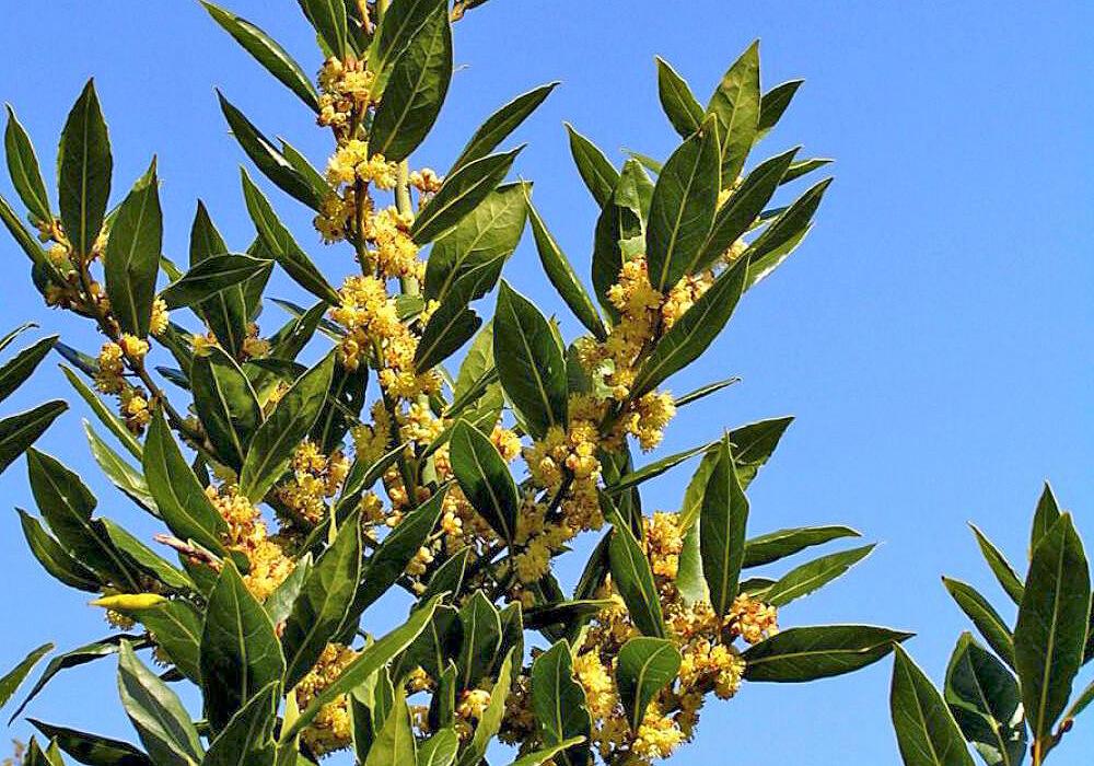 ゲッケイジュの花