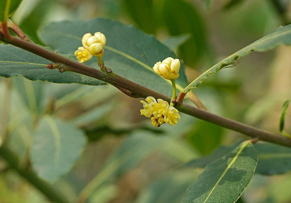 ゲッケイジュの花の拡大