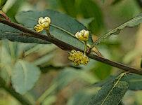 ゲッケイジュの植物図鑑と育て方
