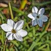 ハナニラの植物図鑑と育て方