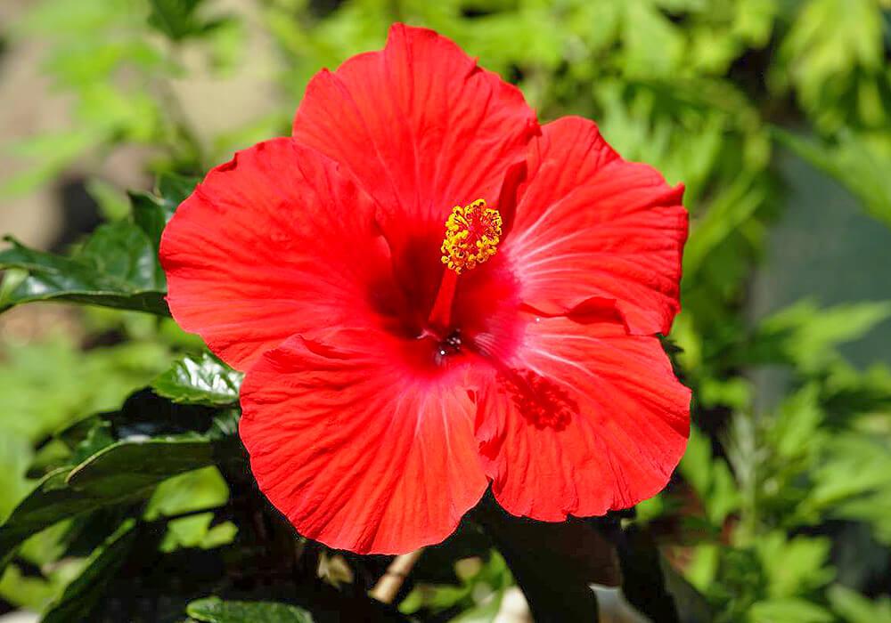 ブッソウゲの赤い花