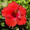 ブッソウゲの植物図鑑と育て方