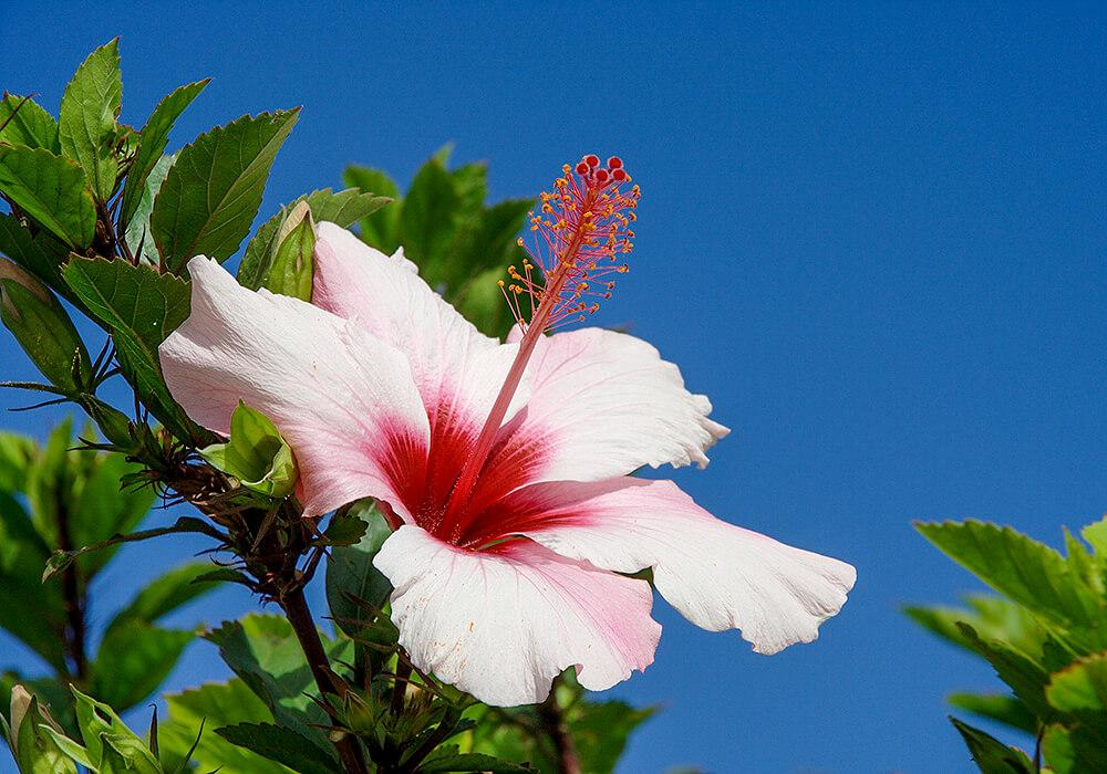ブッソウゲの白い花