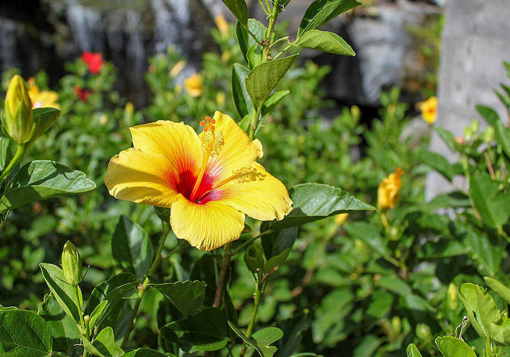 ブッソウゲの黄色い花