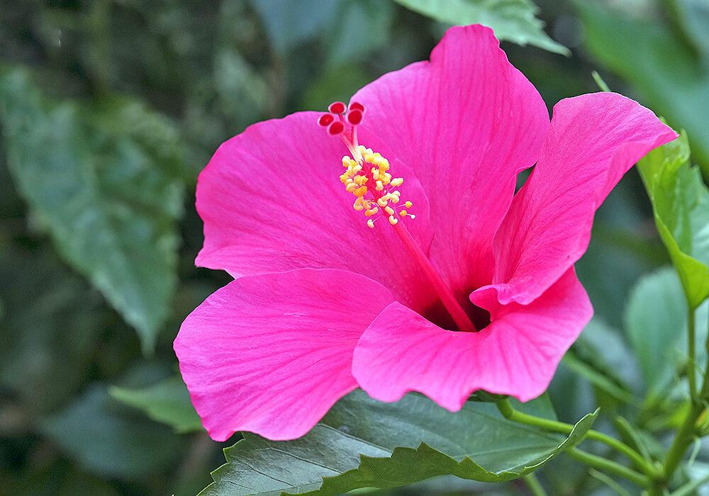 ブッソウゲのピンクの花