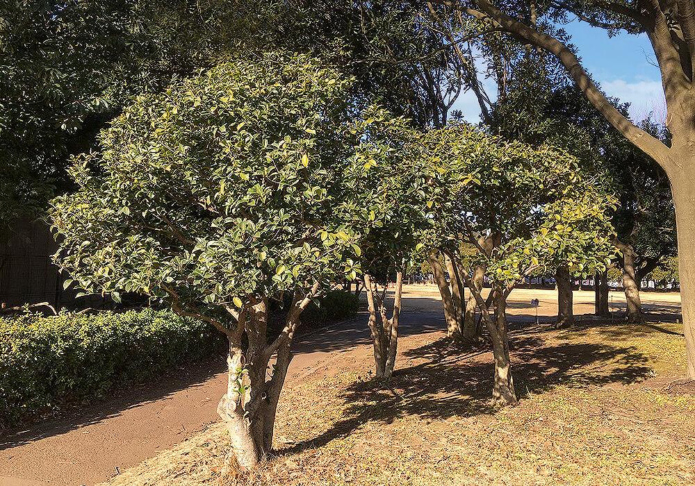 ヒイラギモクセイの木