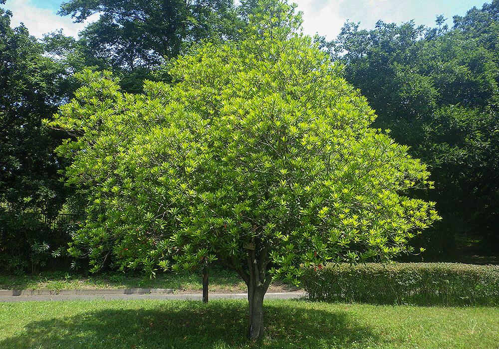 ホルトノキの木