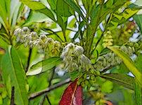 ホルトノキの植物図鑑と育て方