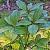 イヌガシの植物図鑑と育て方