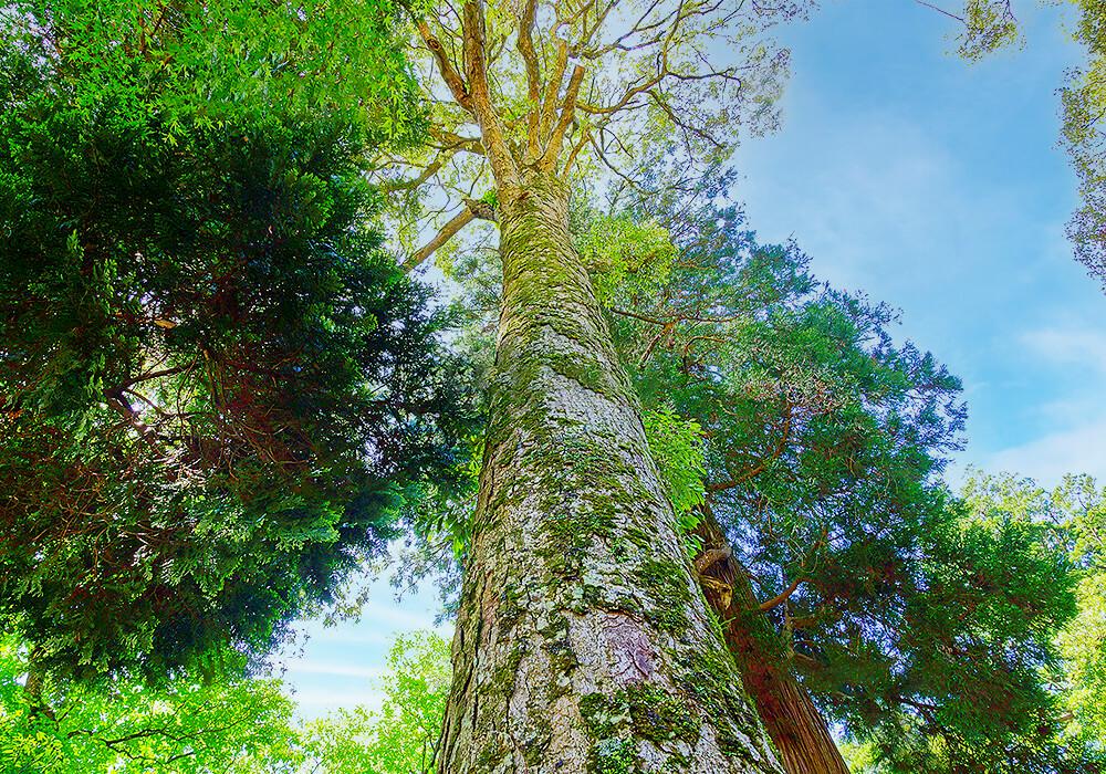 イチイガシの大木